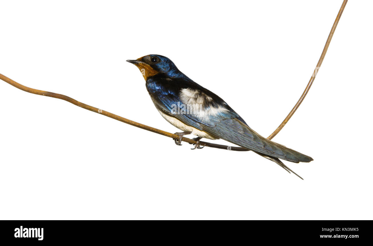 Hirundo rustica or Barn Swallow perched on a wire over white Stock ...