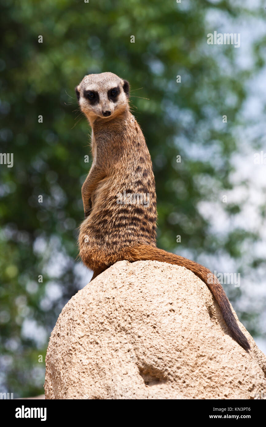 The meerkat or suricate, Suricata suricatta, is a small mammal belonging to the mongoose family. - Stock Image