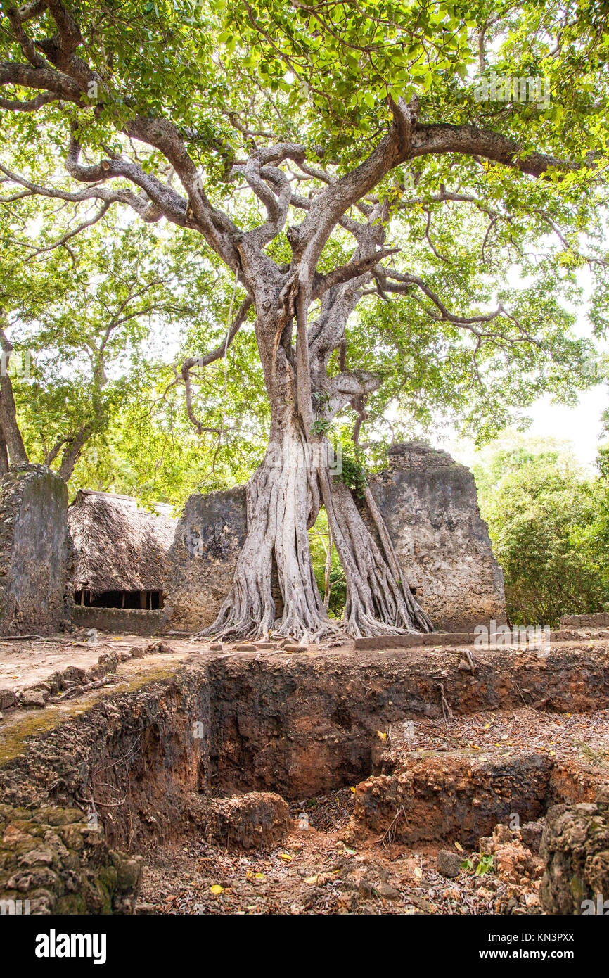 Gede ruins in Kenya are the remains of a Swahili town, typical of most towns along the East African Coast. - Stock Image