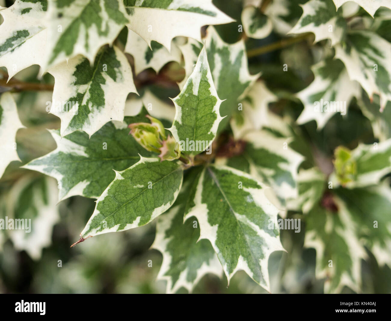 Osmanthus heterophyllus is a species of flowering plant in the olive family Oleaceae, native to eastern Asia in - Stock Image
