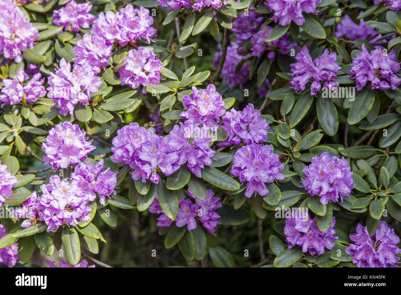 Attractive broadleaf evergreen shrub with lavender flowers in spring attractive broadleaf evergreen shrub with lavender flowers in spring mightylinksfo