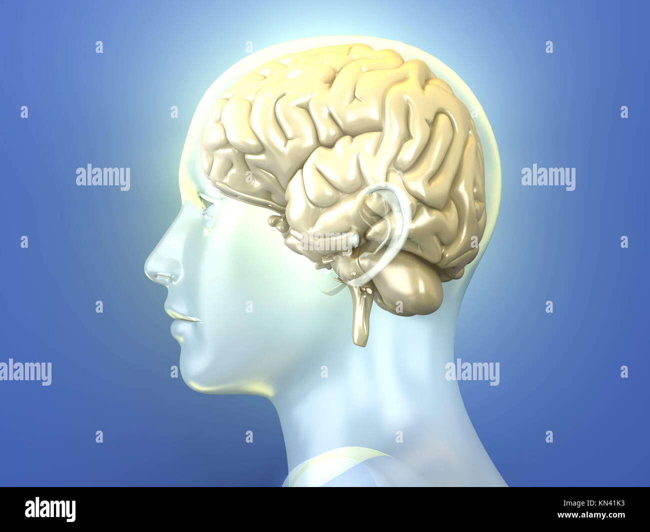 The Human Brain. 3D rendered anatomical illustration. - Stock Image