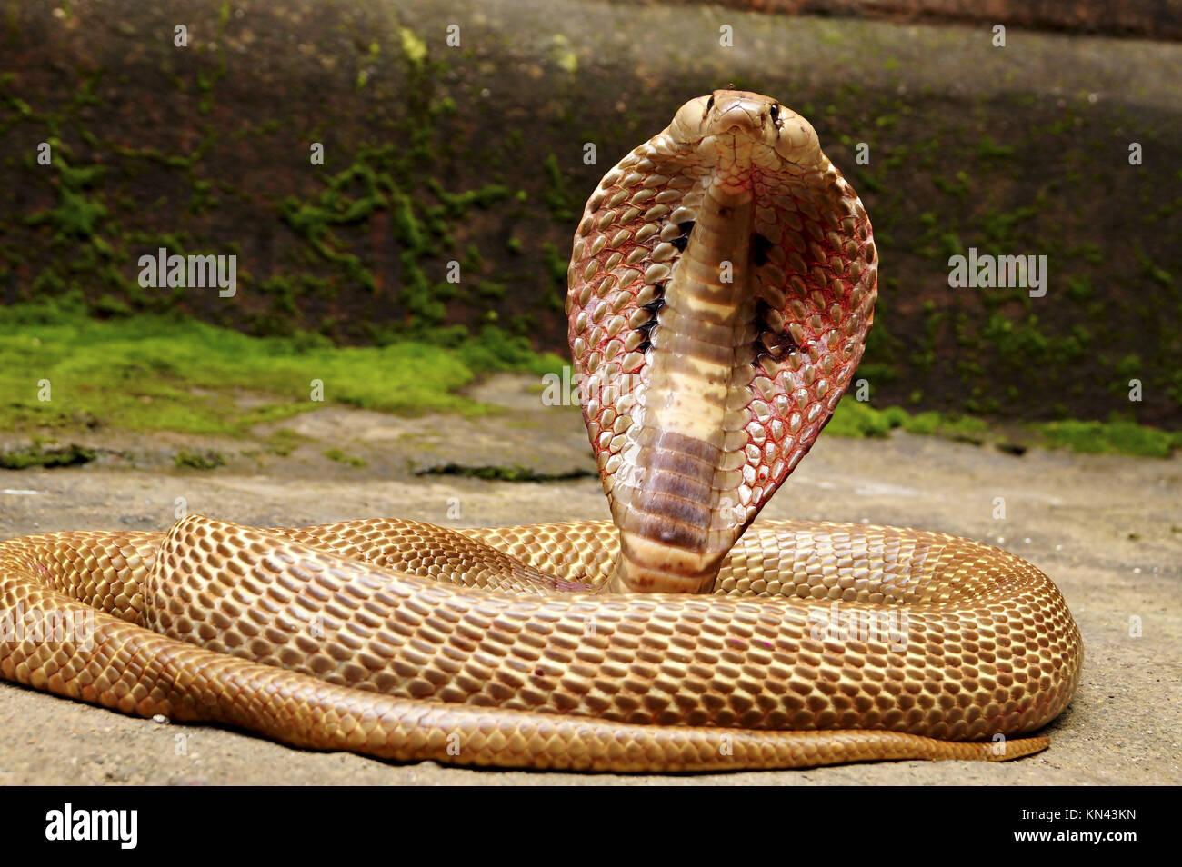 Why the Cobra hood