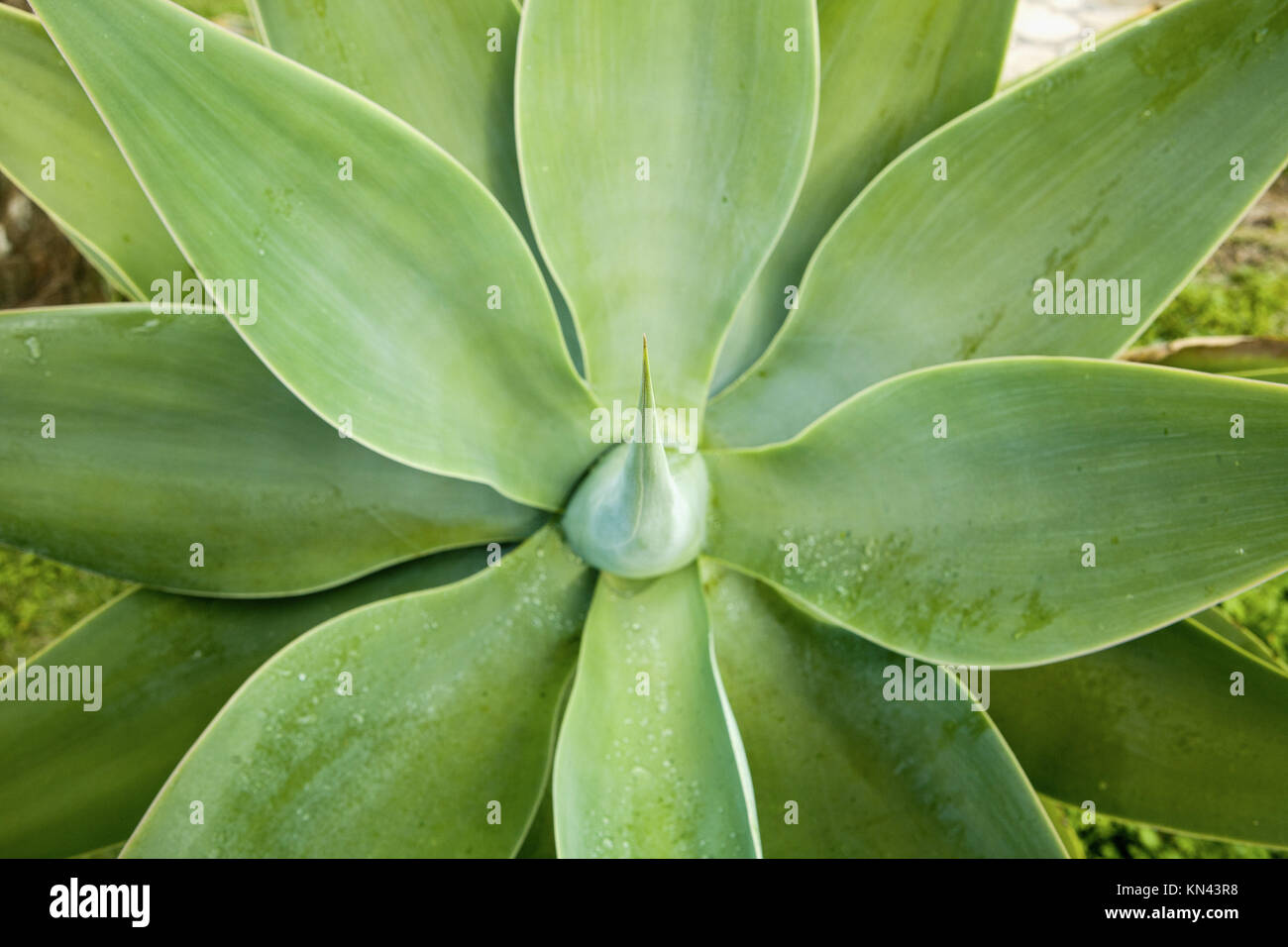 Agave Attenuata cactus plant, Sagres, Algarve, Portugal. - Stock Image