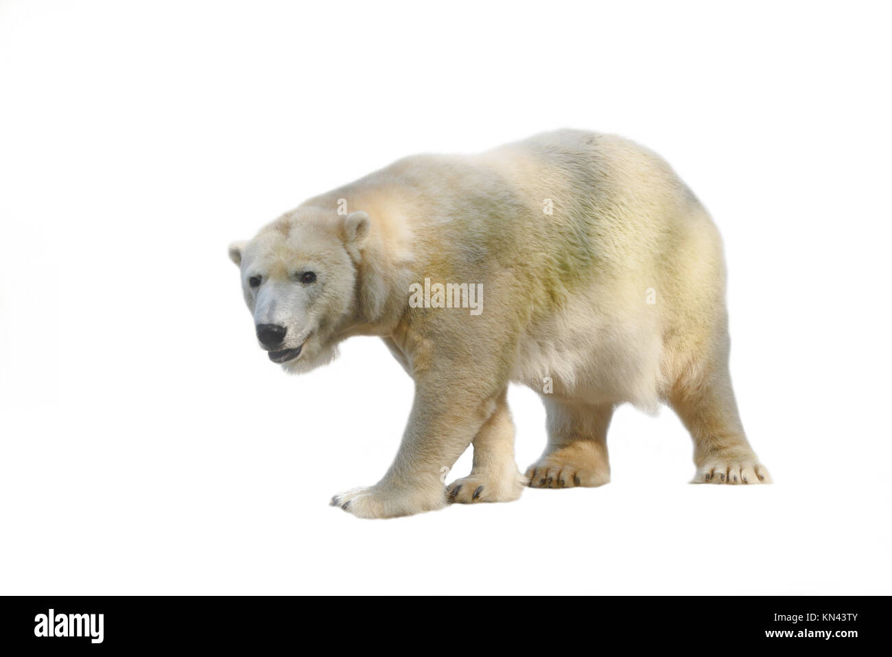 A polar bear in search of food. - Stock Image