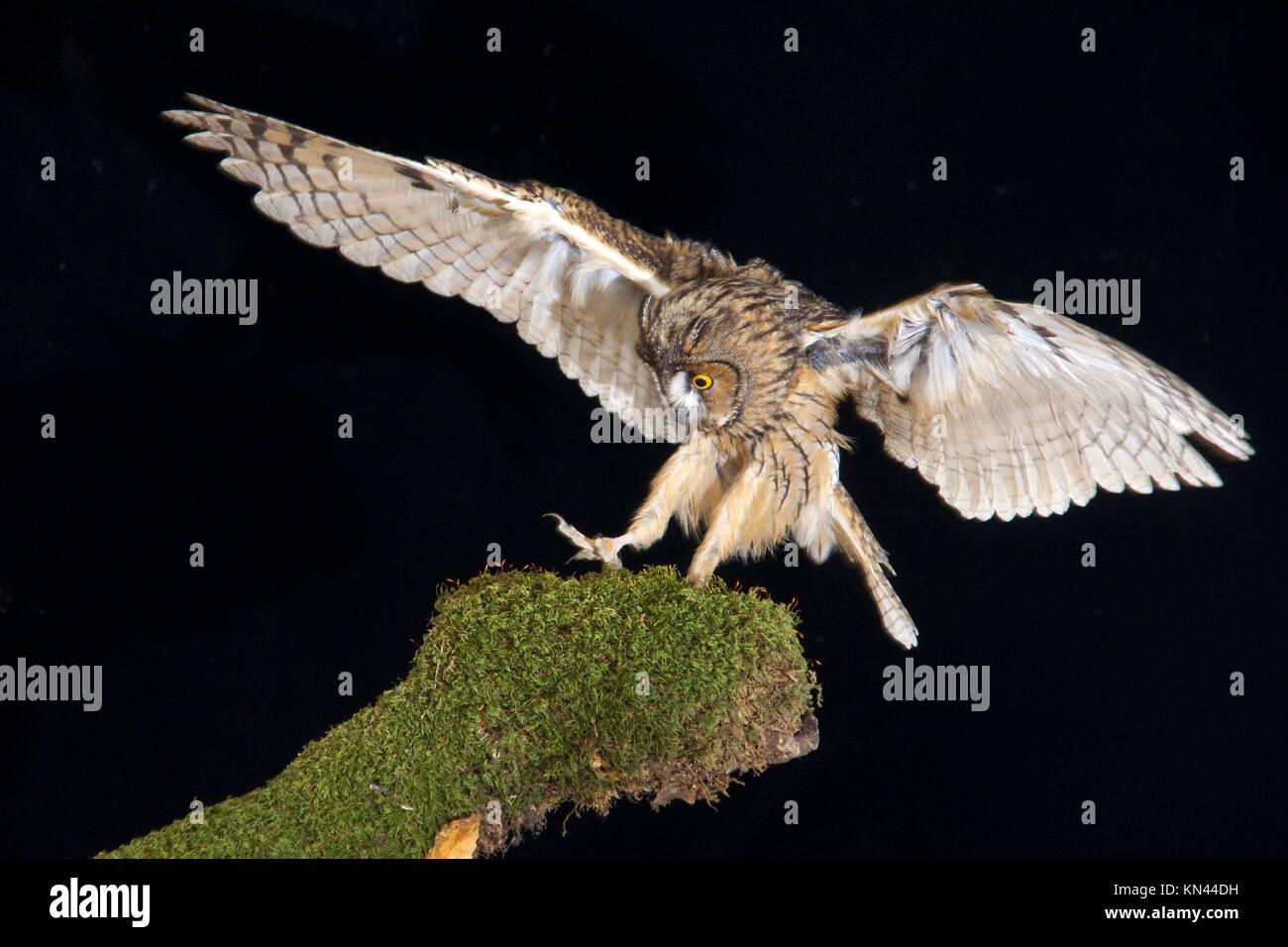 Asio otus, family Strigidae, Malaga, Andalusia, Spain - Stock Image