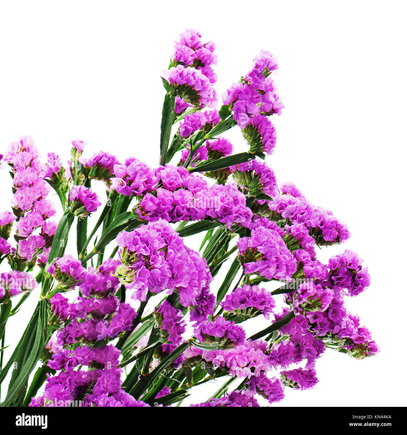 Bouquet from purple statice flowers isolated on white background. Closeup. - Stock Image