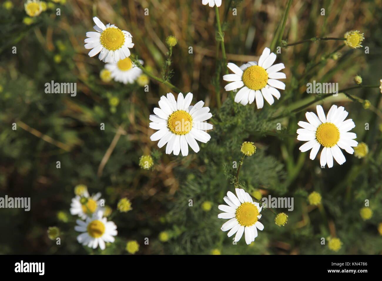Photo of daisy flower stock photos photo of daisy flower stock photo of some wild daisy flowers stock image izmirmasajfo