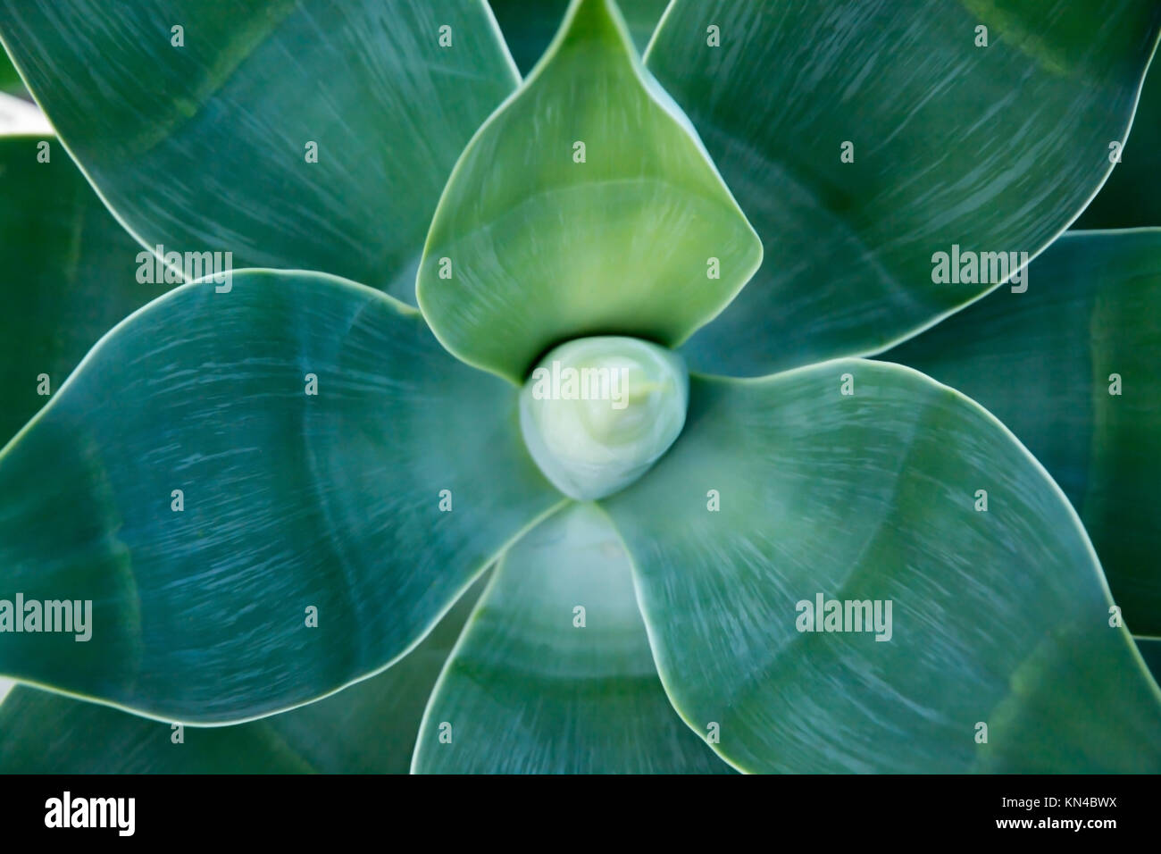 Organic abstract Agave attenuata, lion's tail, swan's neck, foxtail. - Stock Image