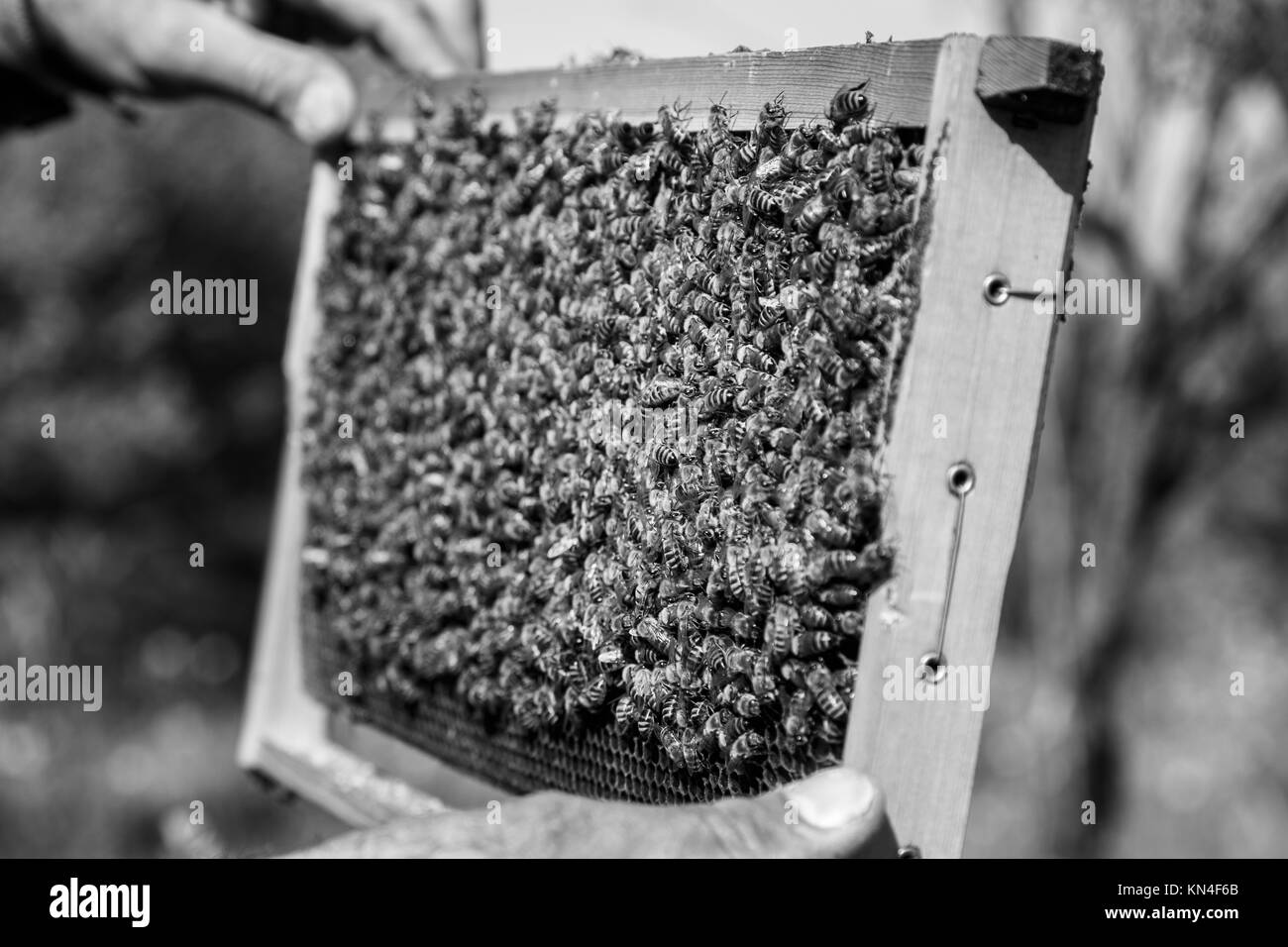 Honey bees to produce organic Bio honey, propolis and collect pollen in Kroustas - Stock Image