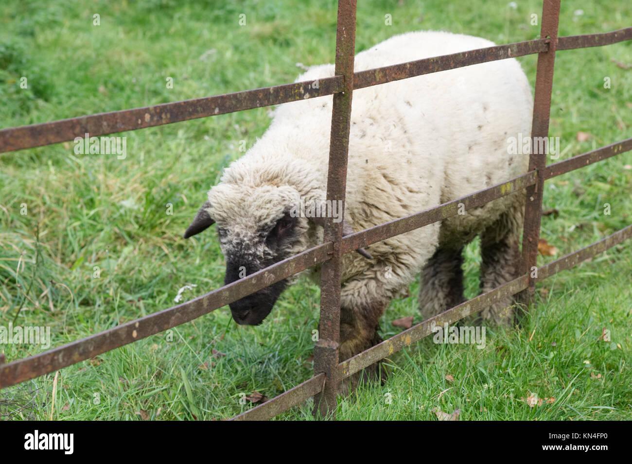 sheep in a pen, farmyard animals Stock Photo