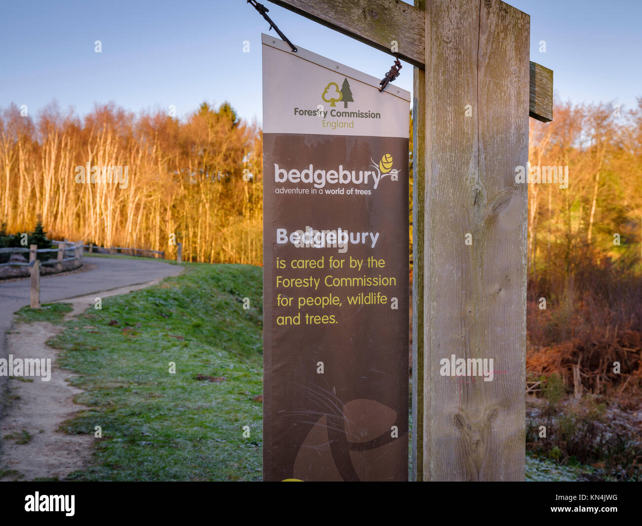 Silver Birch trees at the Bedgebury National Pinetum and Forest in on the Sussex, Kent border. - Stock Image