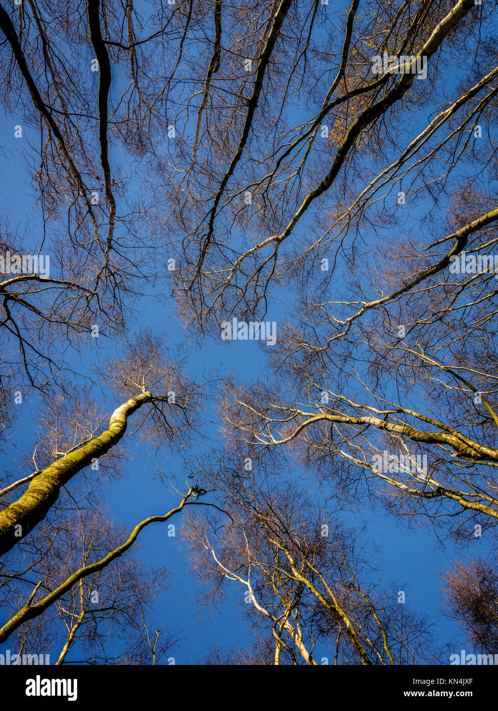 Skyward Silver Birch trees at the Bedgebury National Pinetum and Forest in on the Sussex, Kent border. - Stock Image