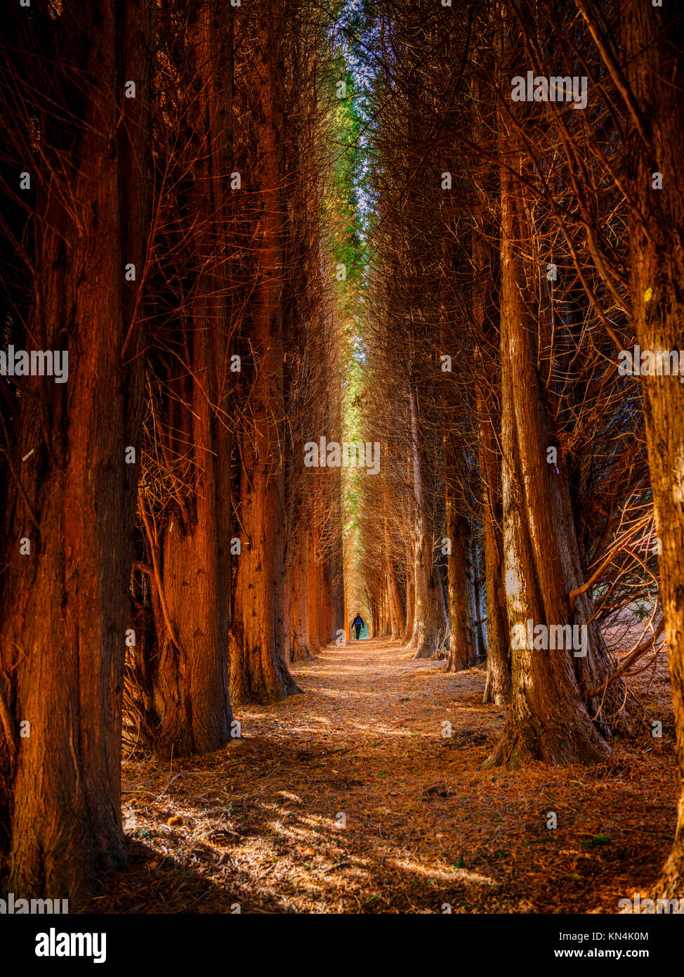 The cathedral of conifers at the Bedgebury National Pinetum and Forest in on the Sussex, Kent border. - Stock Image