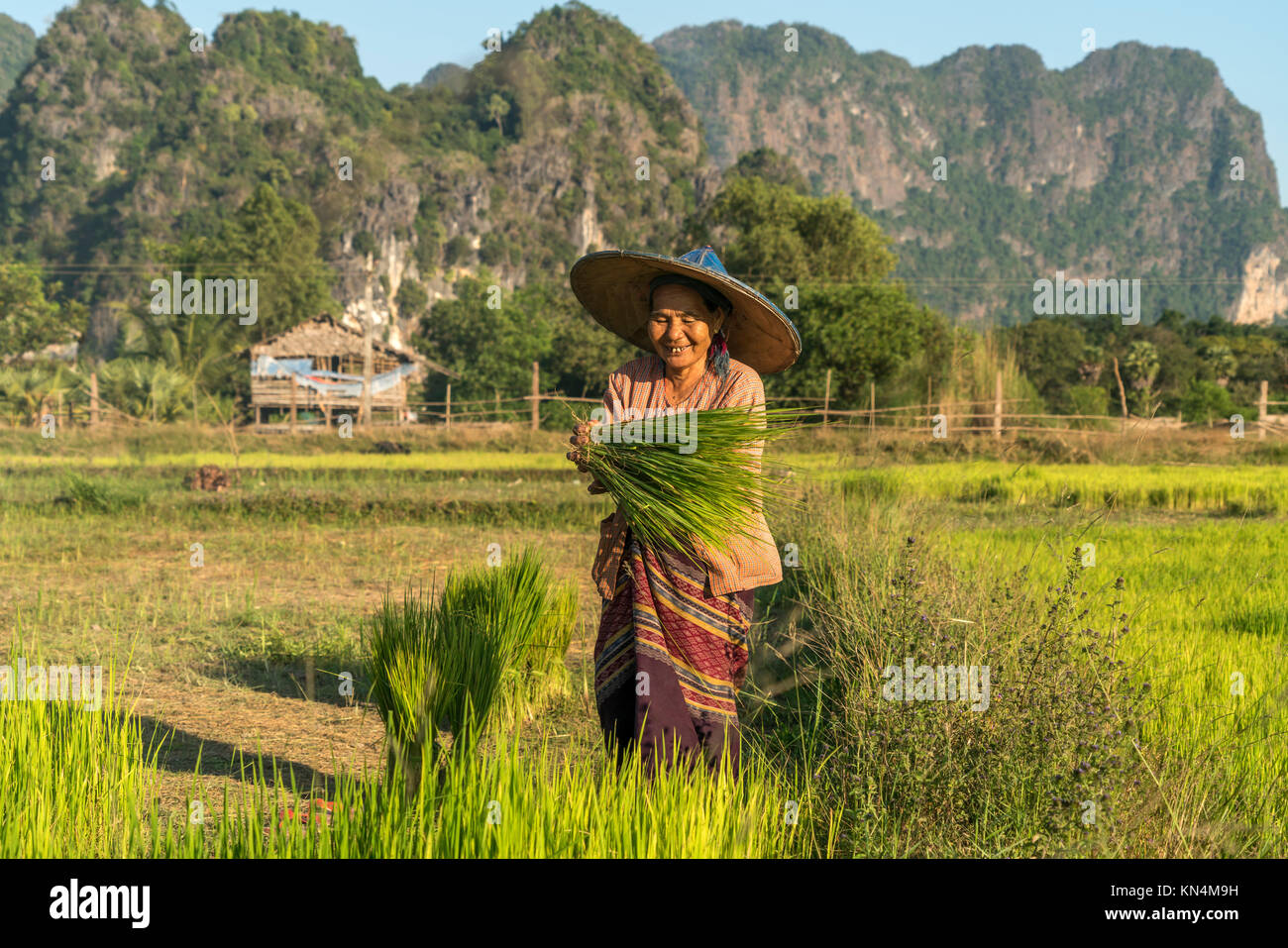 Elder woman in the field at the rice harvest, Hpa-an, Myanmar Stock Photo