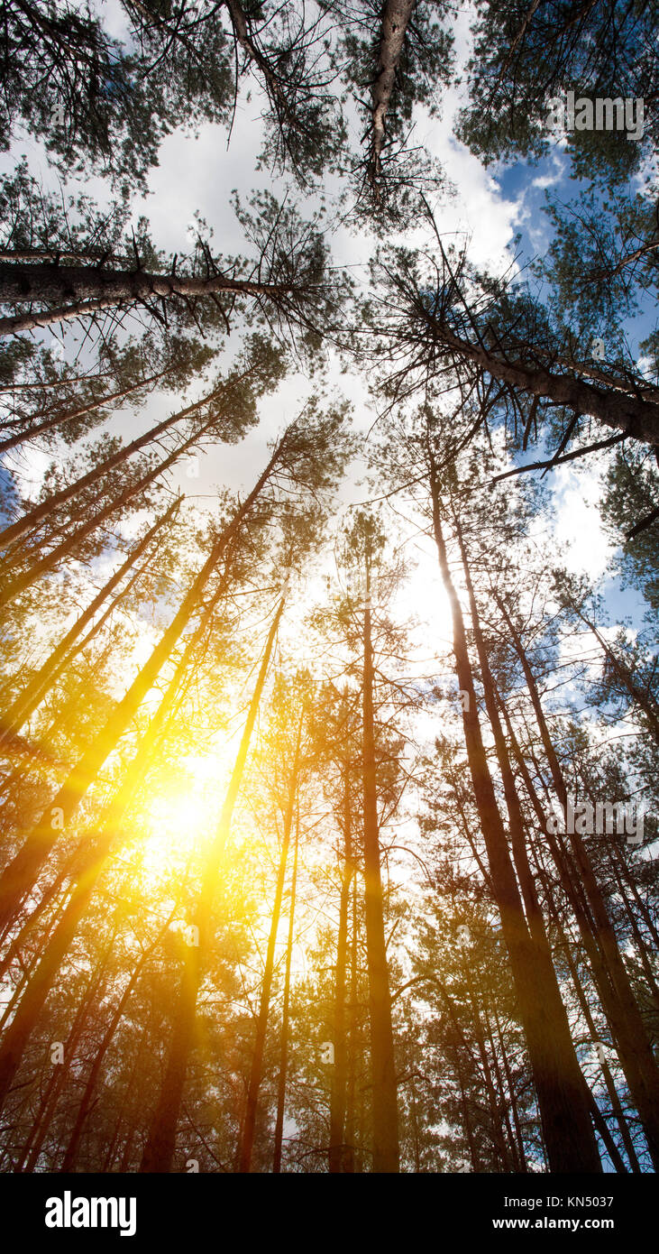 Looking up to the woods crown. Natural backgrounds with bright summer sun on the blue skies. - Stock Image