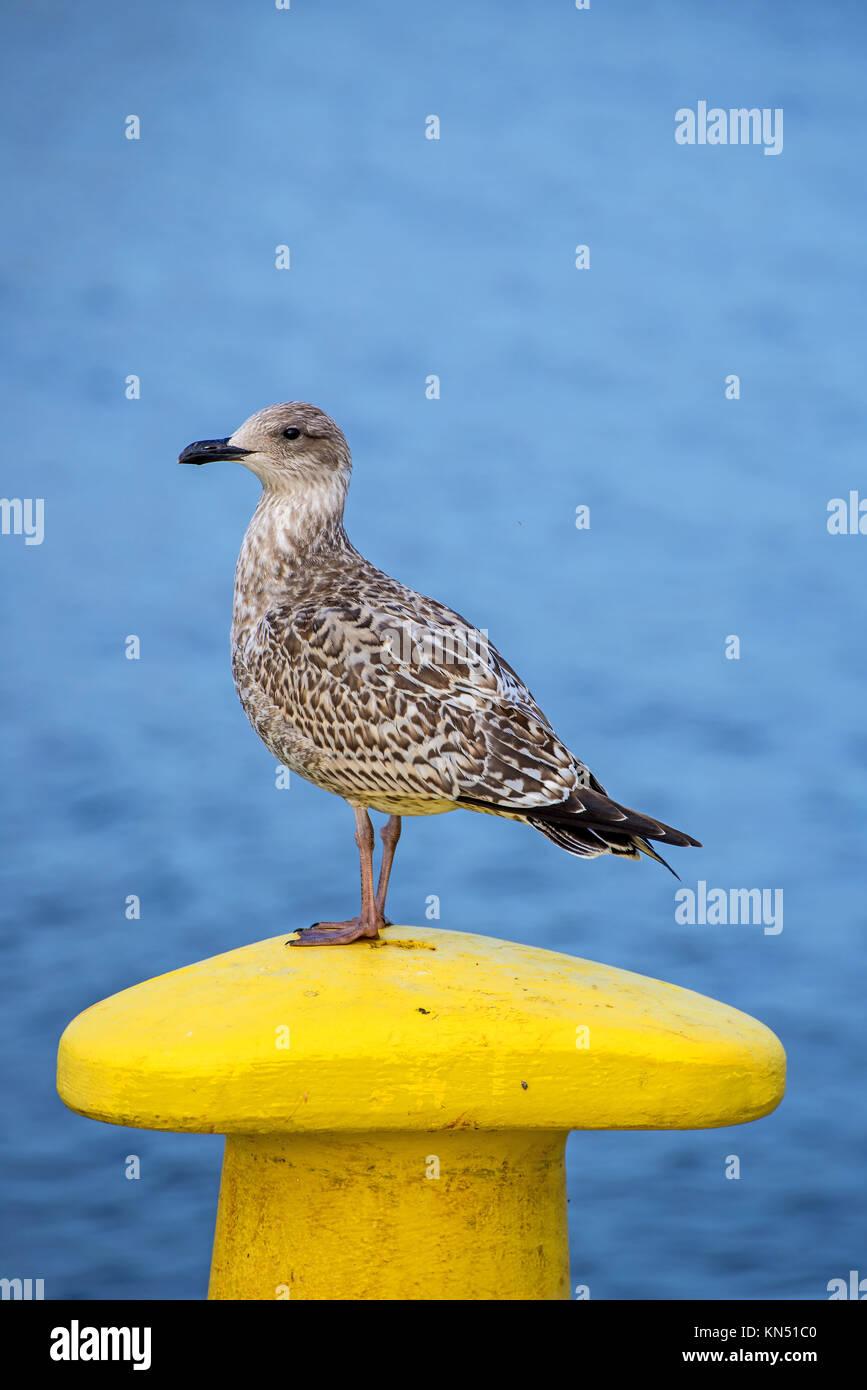 seagull on a pollard in Kolobrzeg, Poland - Stock Image