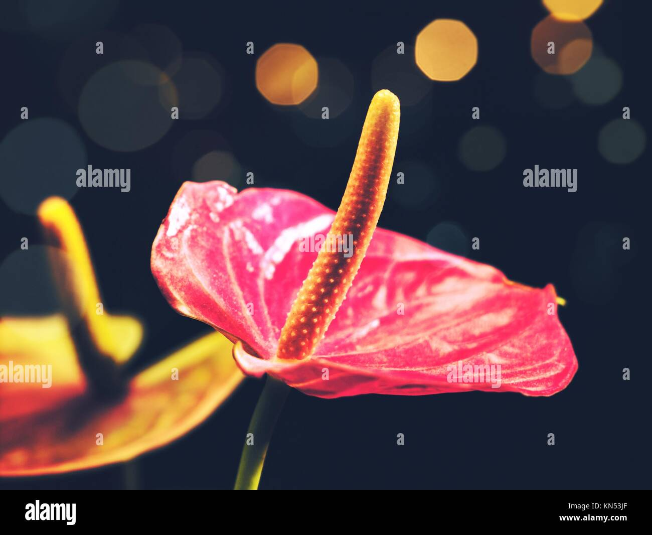 Anthurium flowers stock photos anthurium flowers stock images alamy beauty anthurium flowers vintage floral backgrounds stock image izmirmasajfo