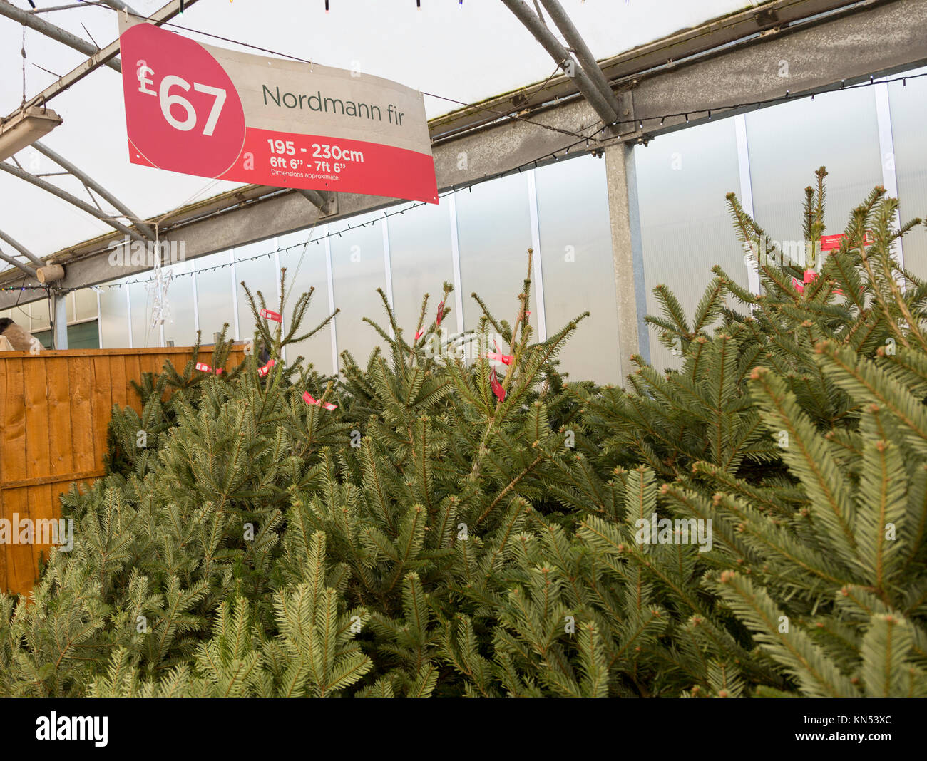 Nordmann Fir Christmas Stock Photos & Nordmann Fir Christmas Stock ...