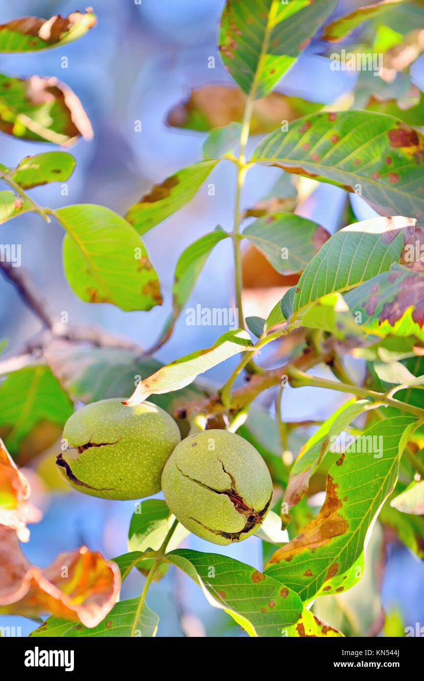ripe walnut on tree in autumn time. Stock Photo