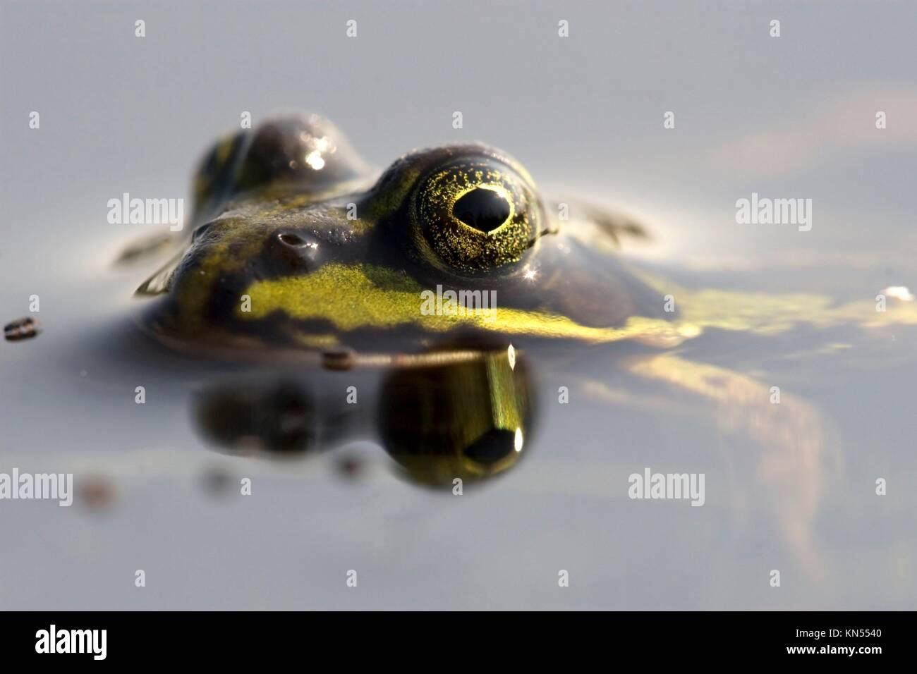 Rana esculenta synklepton, frog, green frog, fen, marsh frog, water, animal, close-up, portrait, Netherlands, heath,. - Stock Image