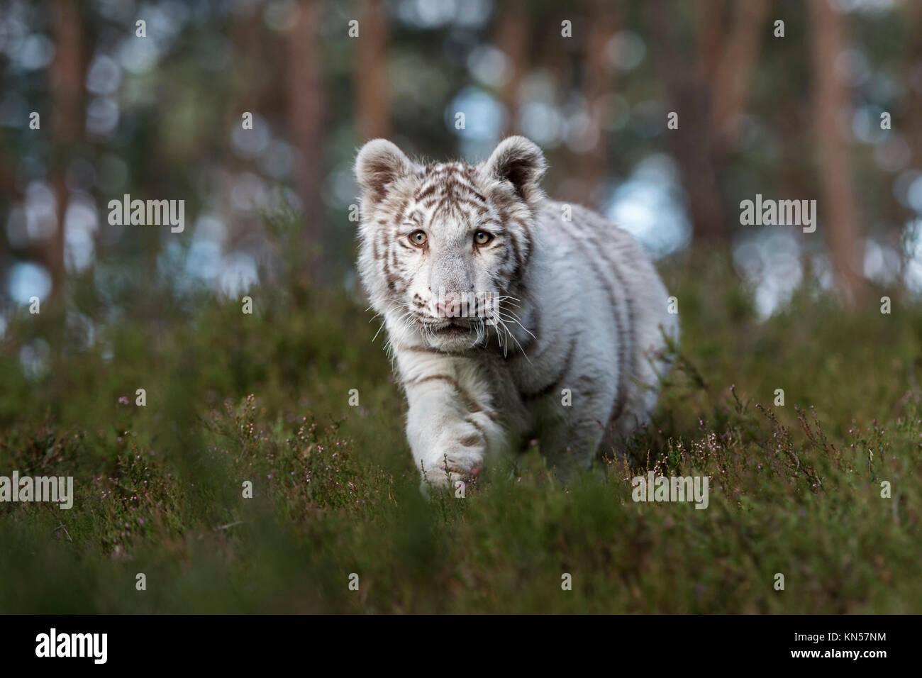 Royal Bengal Tiger ( Panthera tigris ), white animal, secretly sneaking through the undergrowth of natural woodland, - Stock Image