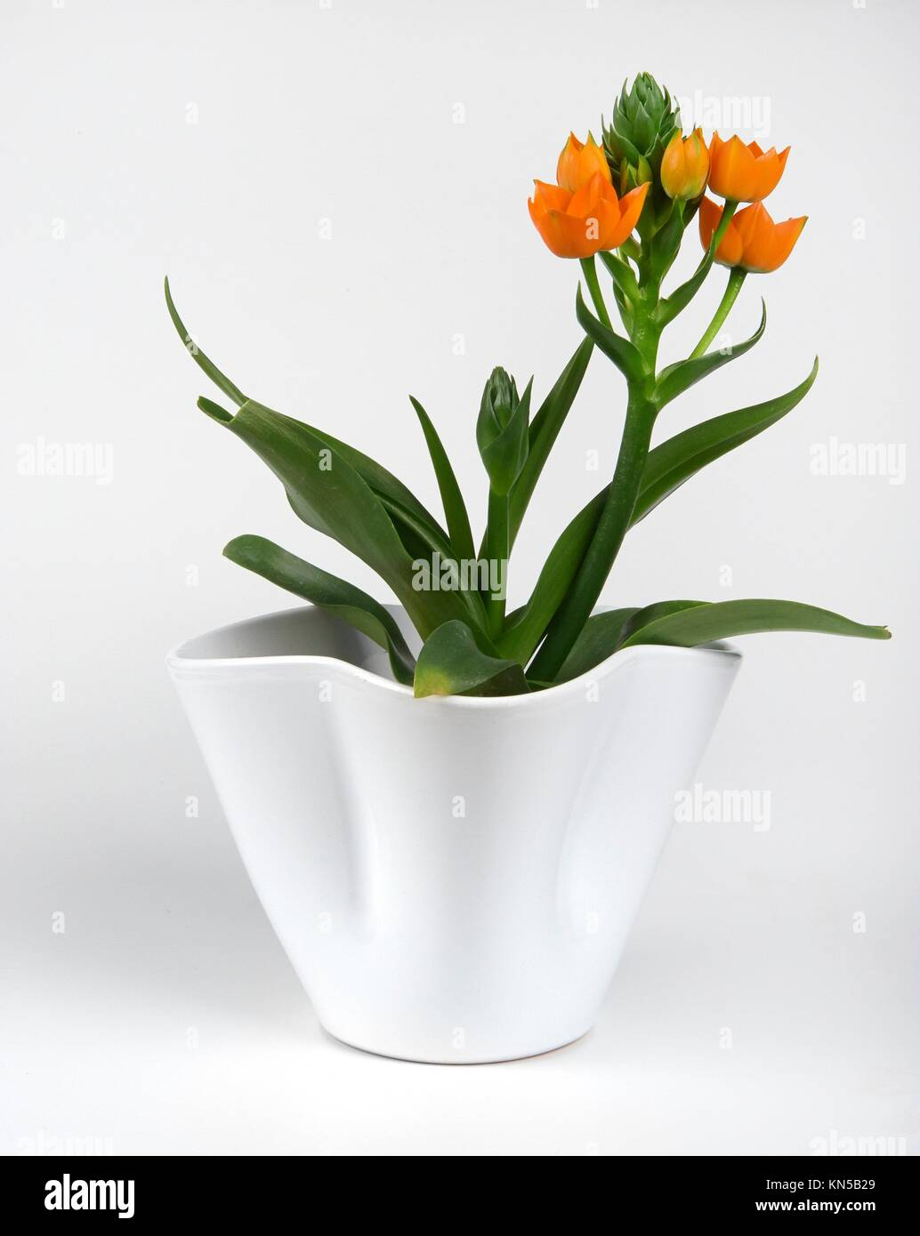 a seedling with some flowers of Ornithogalum Dubium on white background. - Stock Image