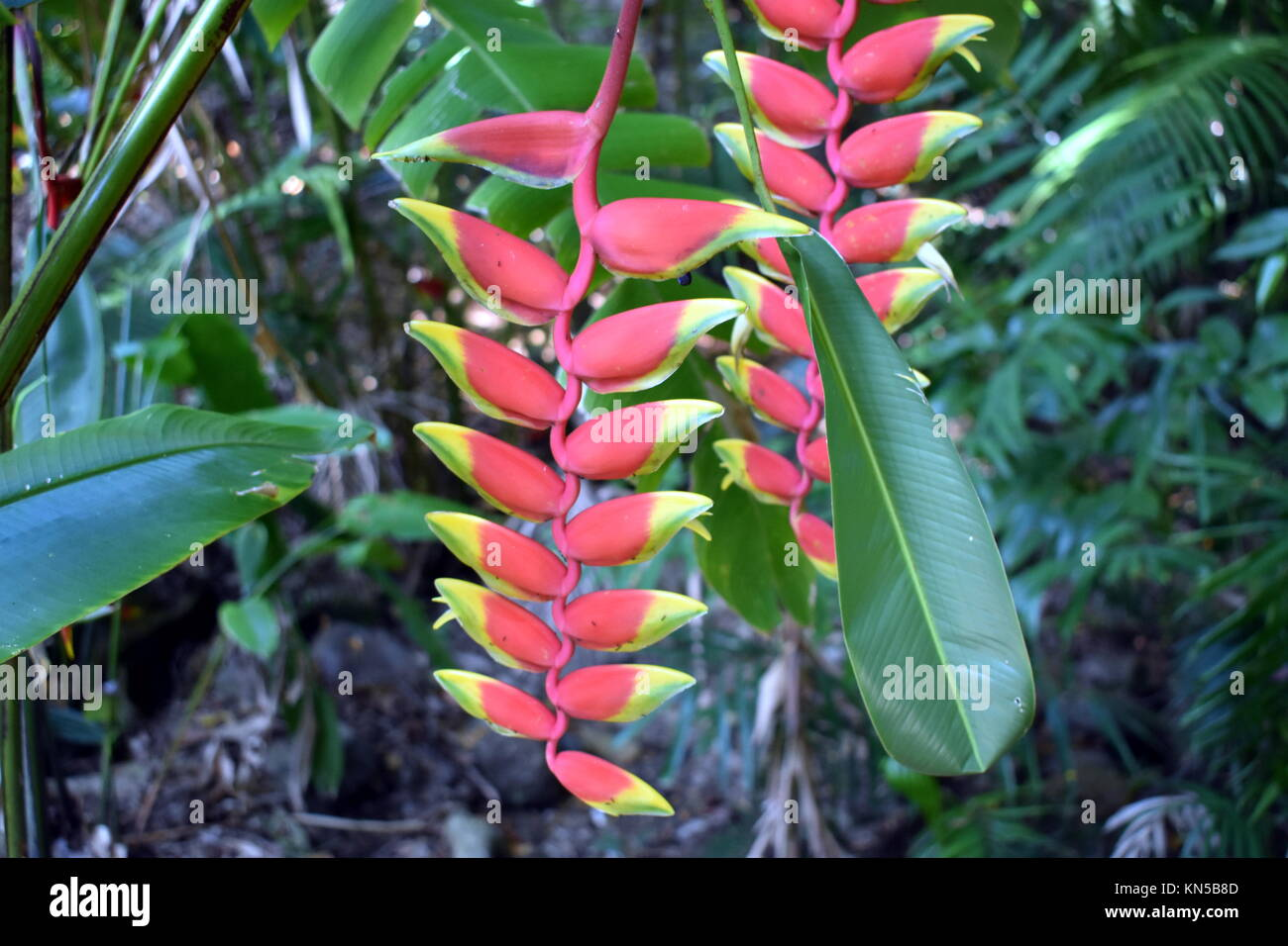 Hanging Lobster Claw (Heliconia rostrata) - Stock Image