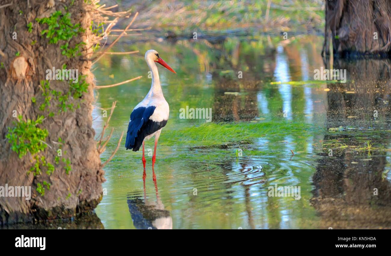 White stork (Ciconia ciconia) hunting. Stock Photo