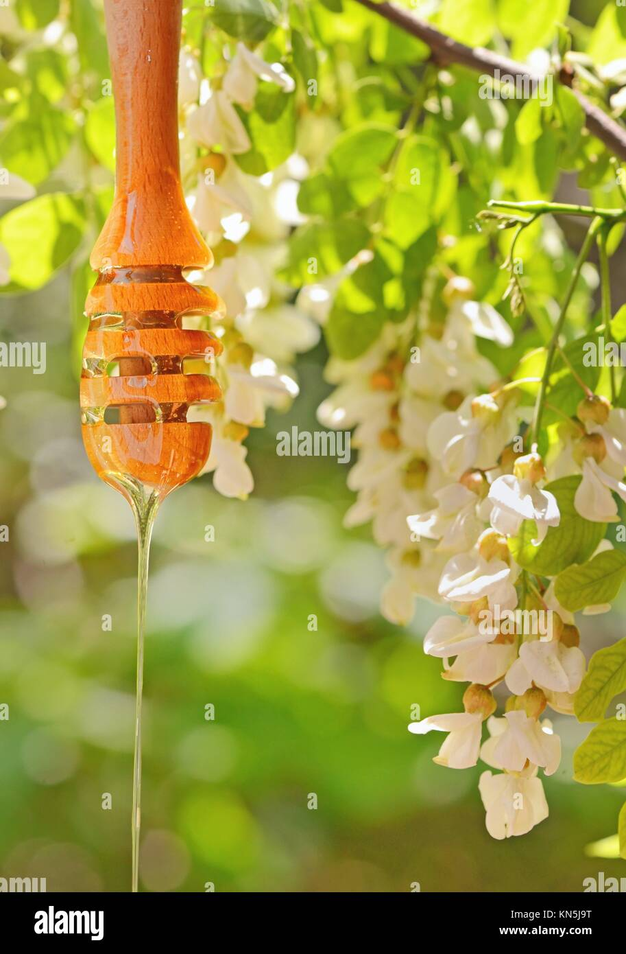 acacia honey and dripper in nature. - Stock Image