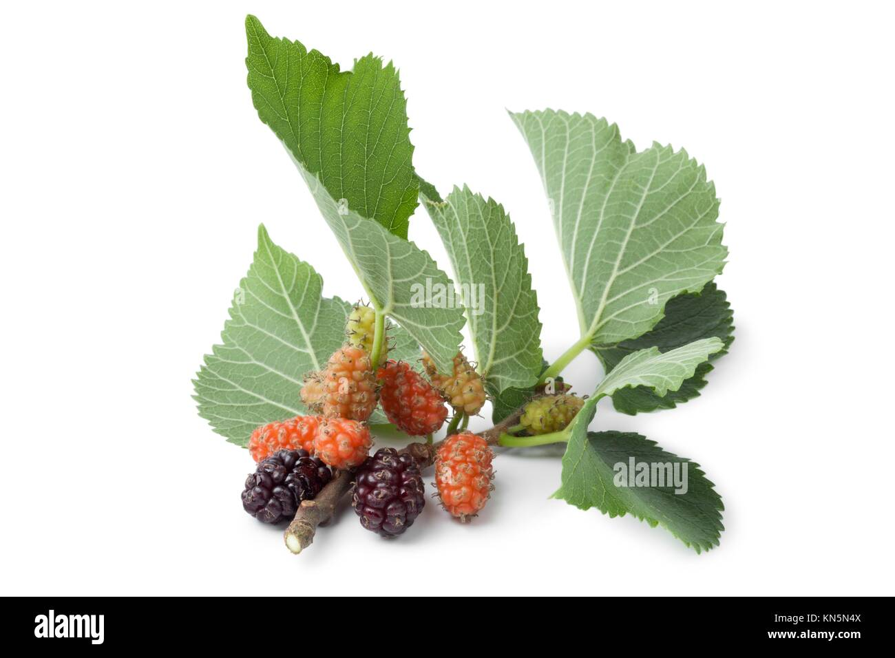 Fresh twig with mulberries on white background. - Stock Image