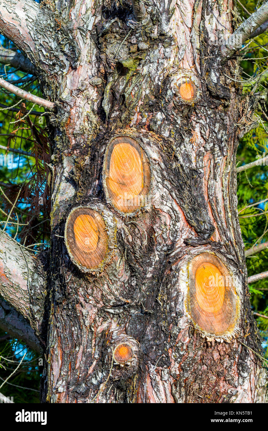 Branches cut from evergreen tree - France. - Stock Image