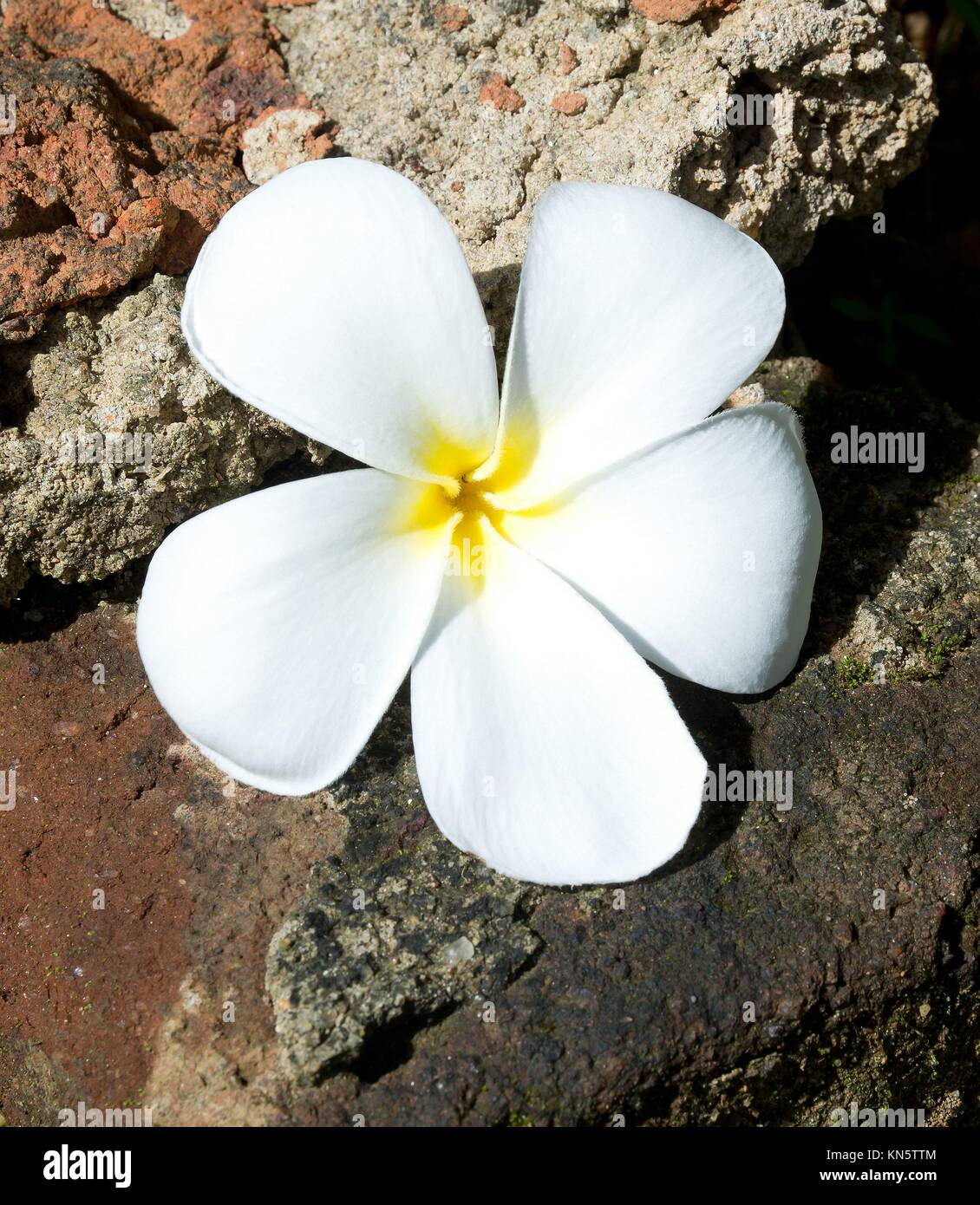 Temple Tree Flower. The flower is seen as the symbol of the fragile human life out of which should come the fragrance - Stock Image