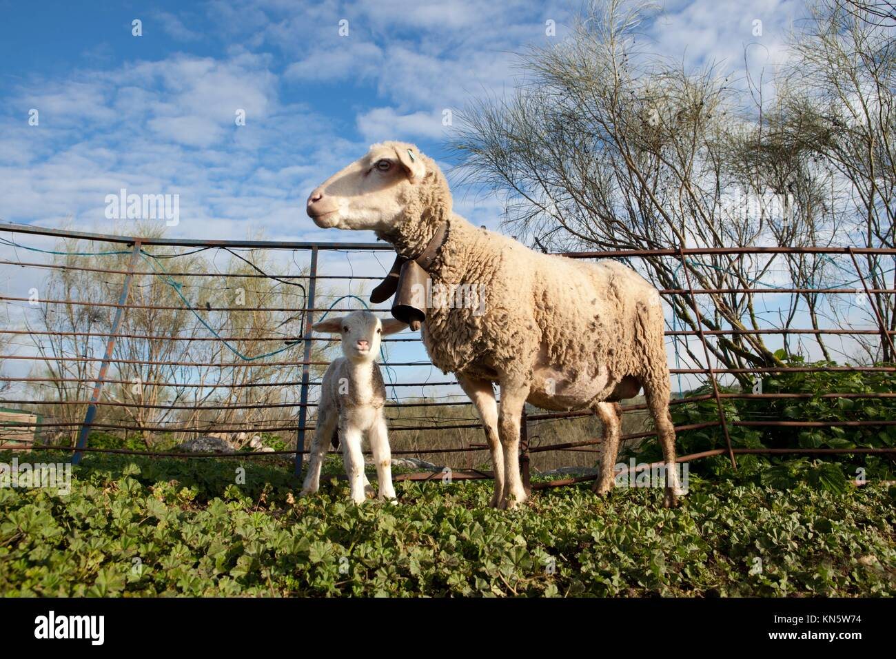 Baby lamb and her maternal sheep mother, Extremadura, Spain. - Stock Image