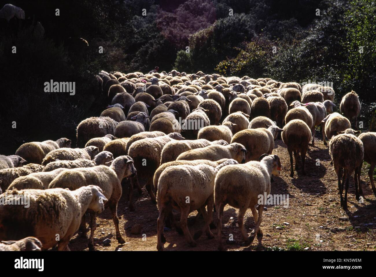 Near Ainsa, nomadic herd. Pyrenean mountains. Huesca. Spain. - Stock Image