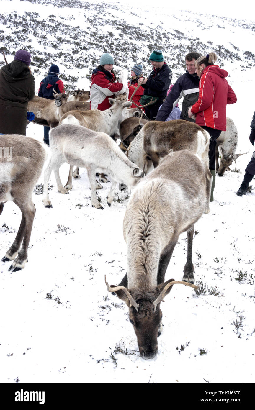 Visitors invited to feed the Cairngorm Reindeer herd.   They are Britain's only herd found roaming free in the Cairngorm Stock Photo