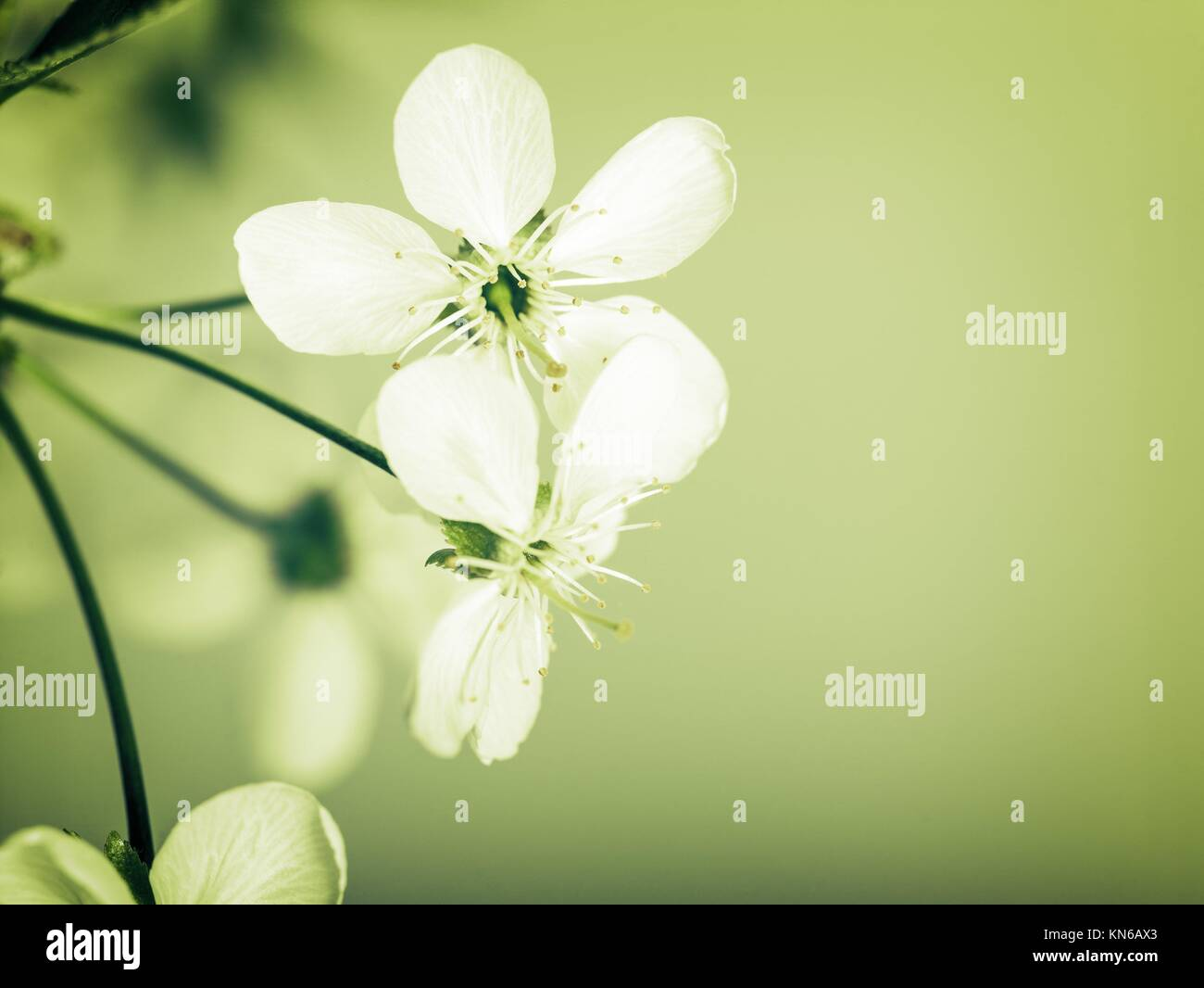 Cherry Flowers Abstract Spring Backgrounds