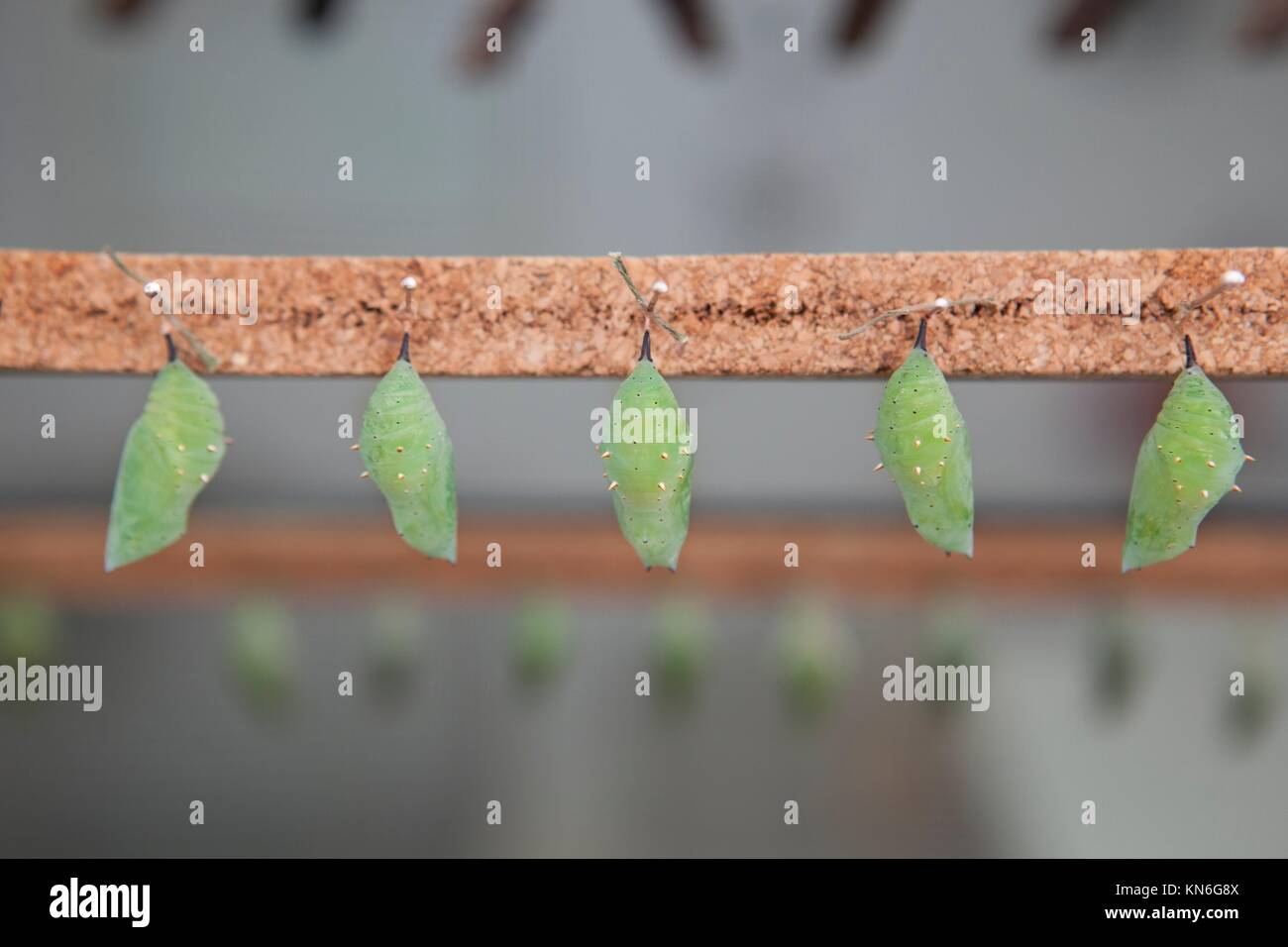 Five Four green pupas is hanging from pins. - Stock Image