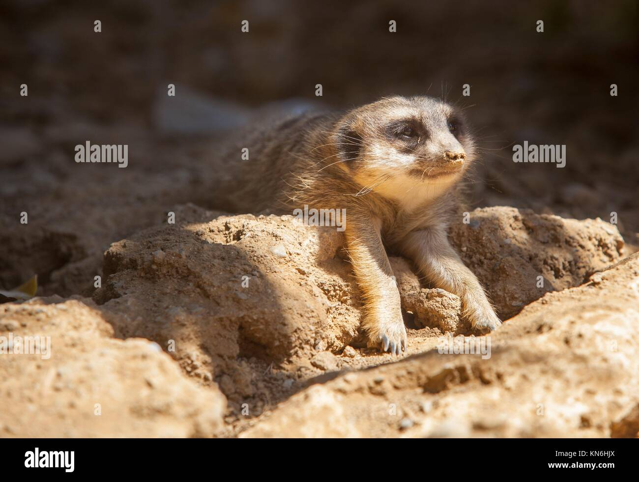 Meerkat lying on the sand with the head on sun and the body on shadow. - Stock Image