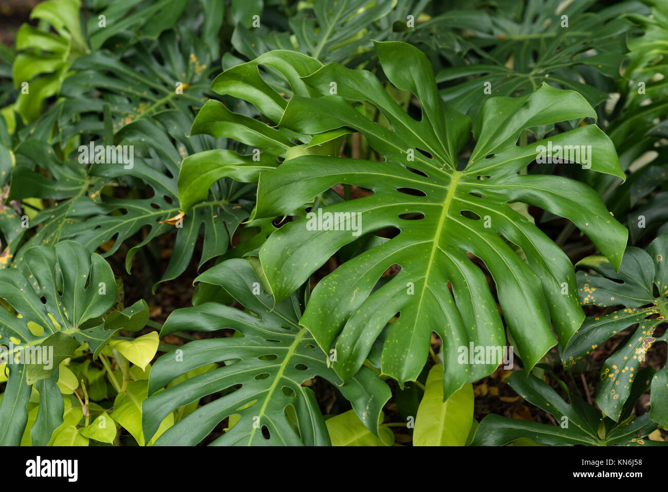 Monstera deliciosa leaves. tropical leaves in a park - Stock Image