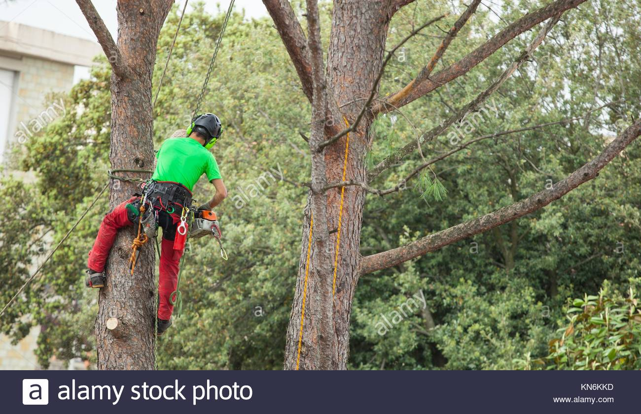 Man with safety equipment and chainsaw pruning pine tree. - Stock Image