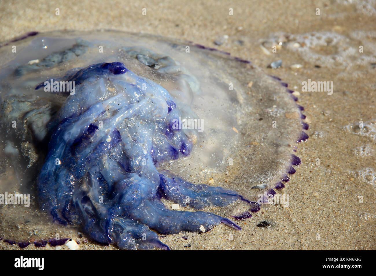 jellyfish on the beach. photo - Stock Image