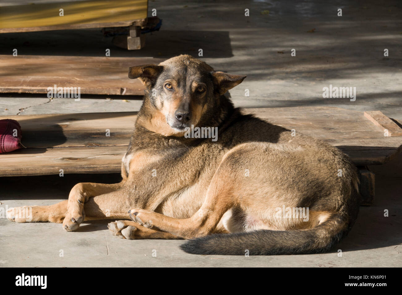 Well fed and healthy looking stray dog resting at temple in Mcleod Ganj, India Stock Photo