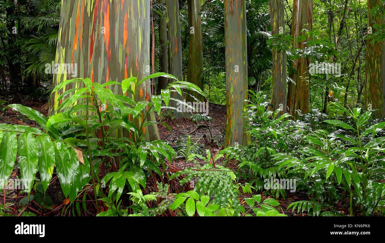 Colorful tree trunks of the Rainbow Eucalyptus (Eucalyptus deglupta) at the Keanae Arboretum along the road to Hana - Stock Image