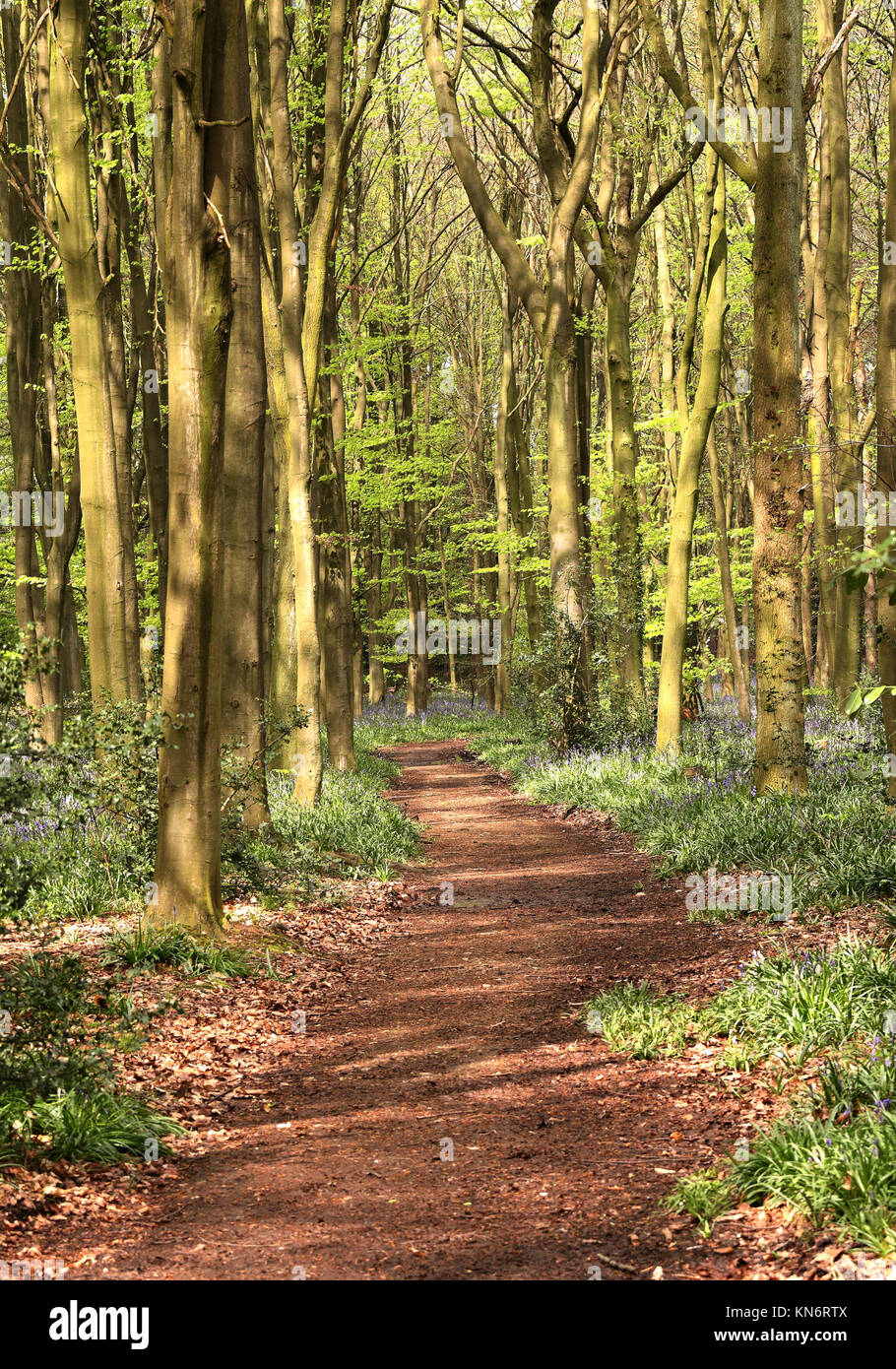Dappled Sunshine on an English Woodland track lined with Spring Bluebells in the Chilterns Stock Photo