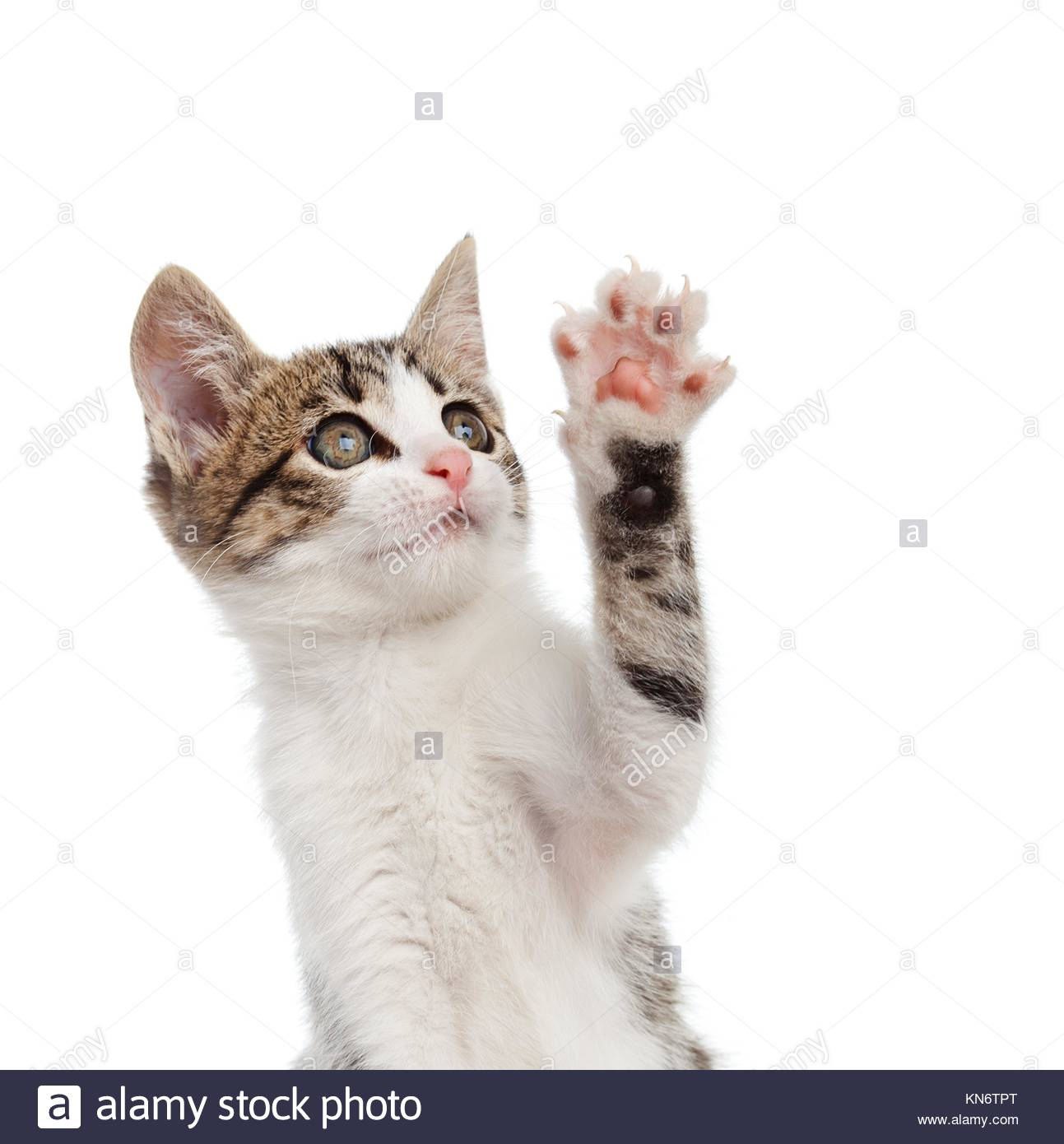 Puppy cat while greeting with his paw on white background. - Stock Image