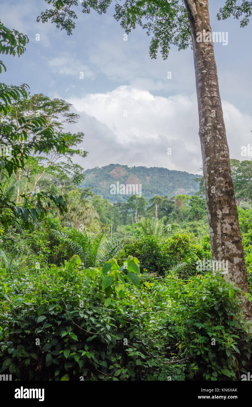 Landscape with lush green rain forest with tall old tree and green hill in background, Nigeria - Stock Image