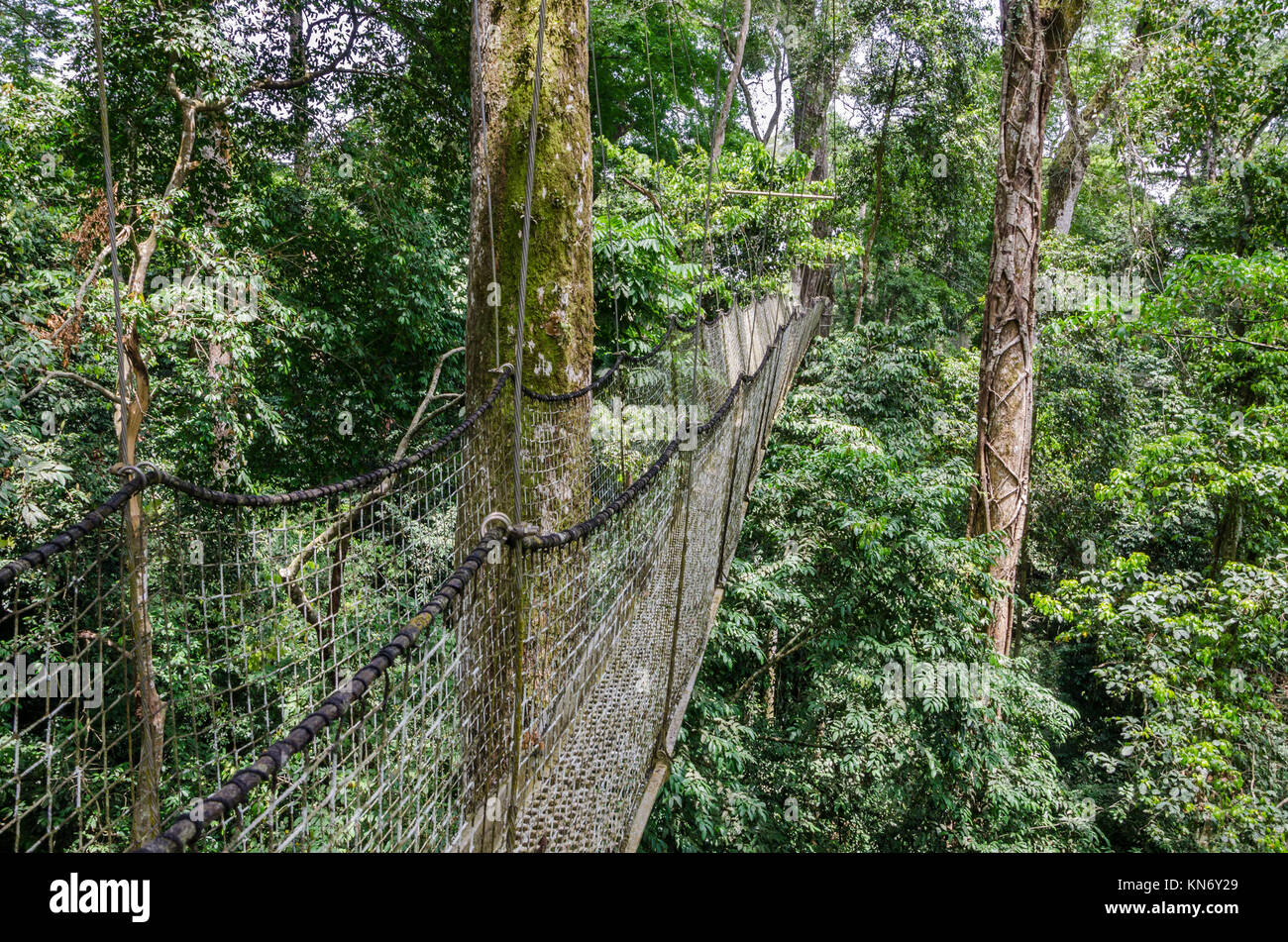 Suspended tree top or canopy walk in rain forest of Nigeria - Stock Image