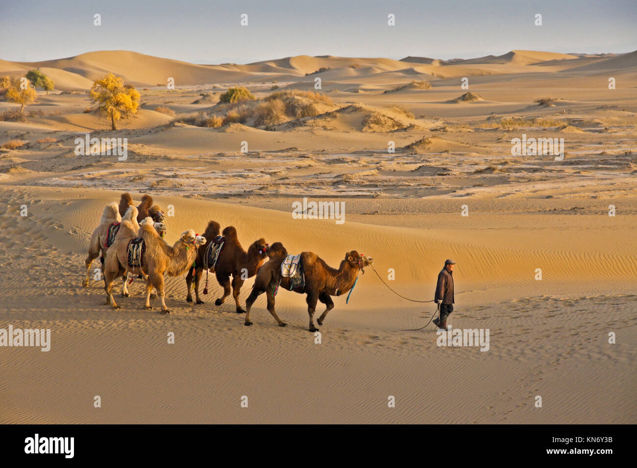 Man leading Bactrian camels through Gobi Desert with poplar trees in autumn color near Ejina Qi, Inner Mongolia, - Stock Image