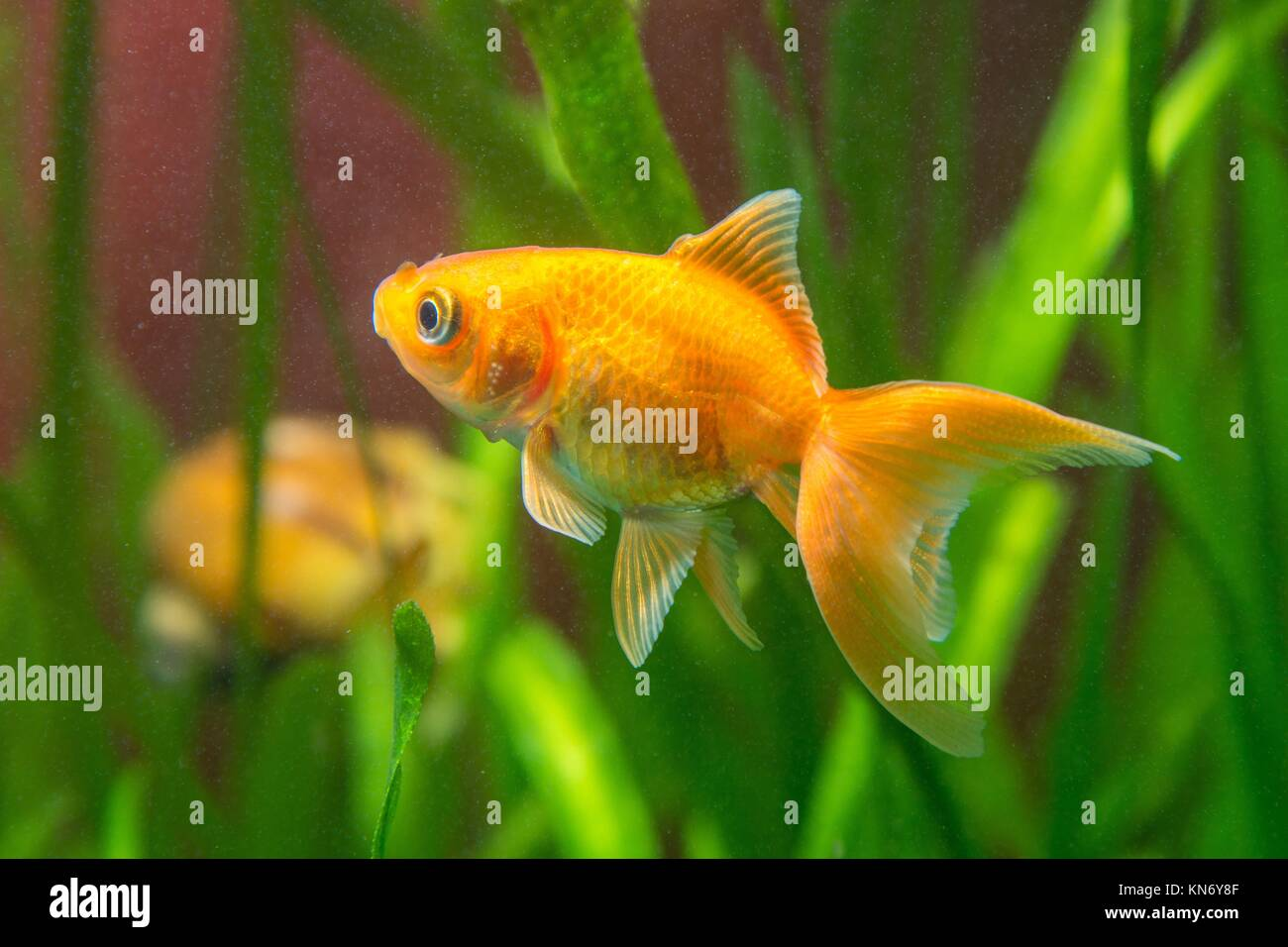 View of a goldfish in a home freshwater aquarium. - Stock Image